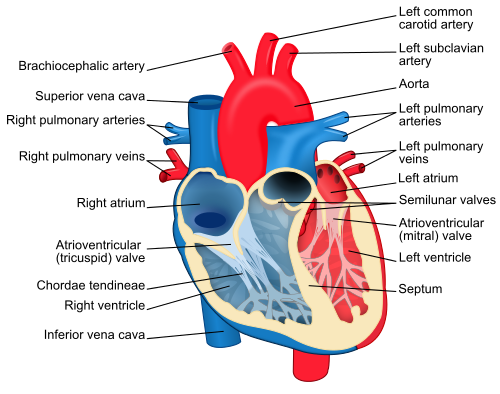 Anatomy of the heart cpr test heart diagram ccuart Choice Image